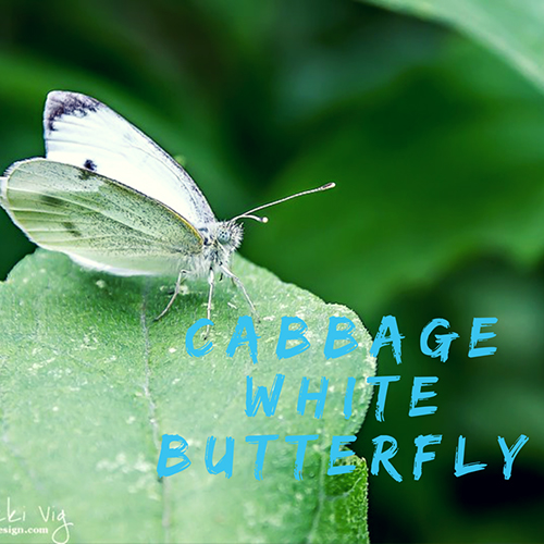 Cabbage White Caterpillar and Butterfly