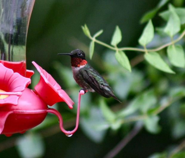 Making Your Yard Hummingbird Pleasant