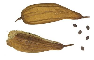 Dried Luffa