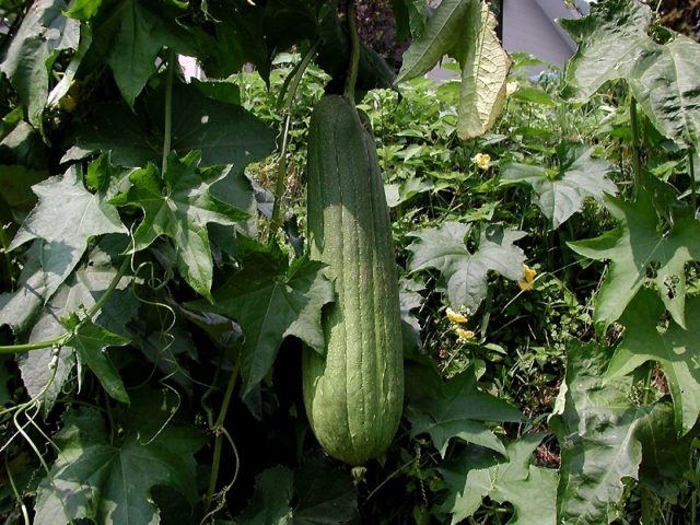 Grow Your Own Luffa Sponges