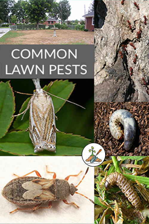 Common Lawn Pests