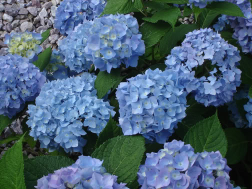 How To Change the Color of Hydrangeas from pink to blue