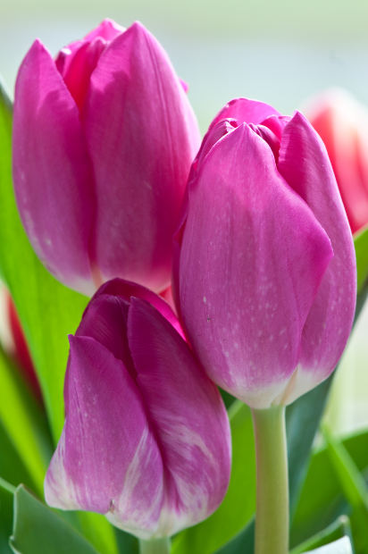 Fall Bulb Planting Basics for Spring Flowers