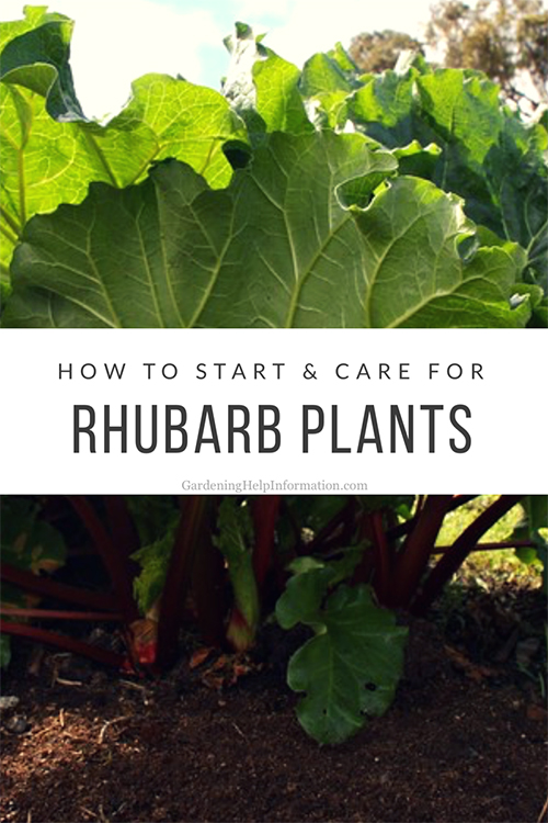 How to Start and Care for a Rhubarb Plant