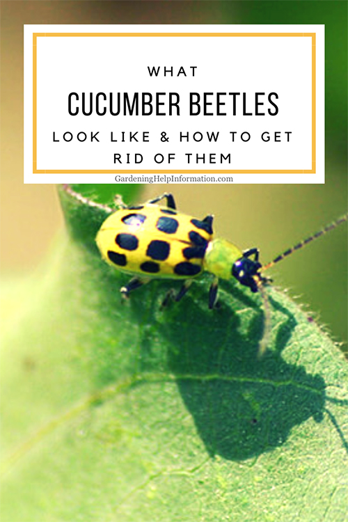 What Cucumber Beetles Look Like and How to Get Rid of Them