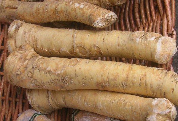 Planting Horseradish Root