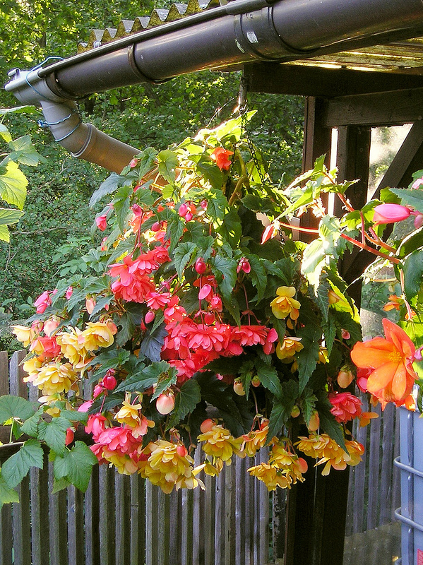 How to Plant Begonia and Winter Storage of Tuberous Begonias