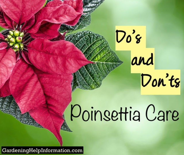 Poinsettia Care Dos Donts - Want to keep your plant healthy through the holiday season?