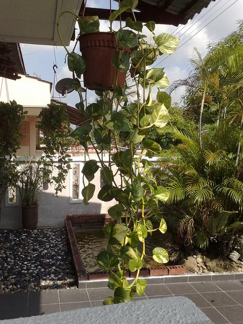 Repotting a money plant
