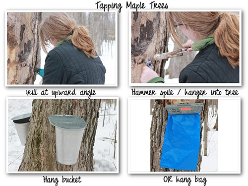 Maple Syrup Tapping How Maple Syrup Is Made - How Maple Syrup Is Made