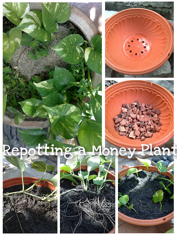 Repotting a Money Plant