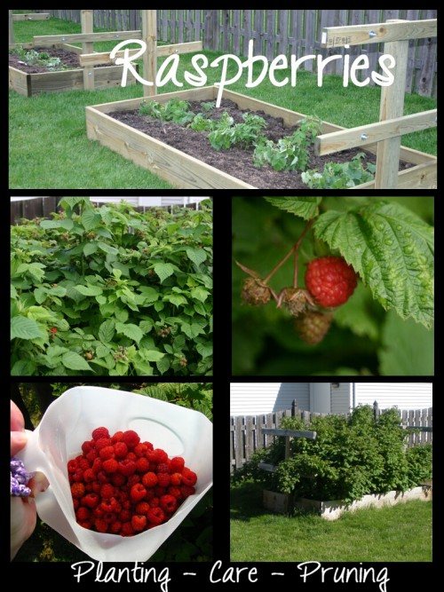 Starting a Raspberry Patch- -Everything you need to know about starting a raspberry patch.