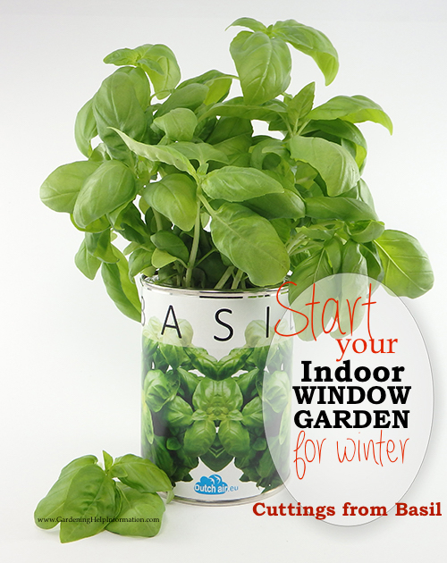 Growing basil cuttings will make sure you have fresh basil to use throughout the season. Use cutting from your plant or buy organic fresh basil.