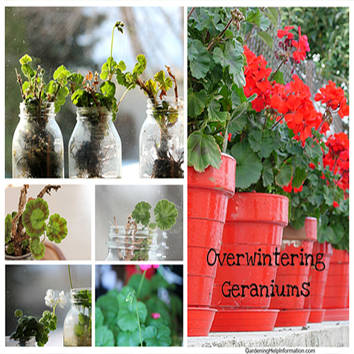 What to do with geranium flowers over winter