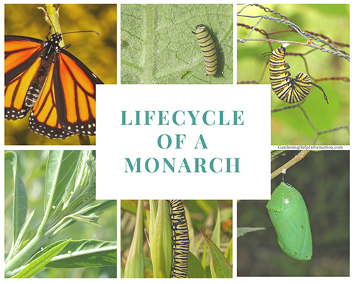 Lifecycle of a Monarch
