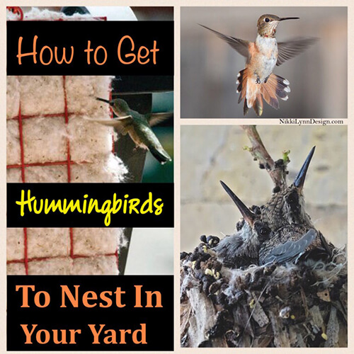 How to get hummingbirds to nest by you