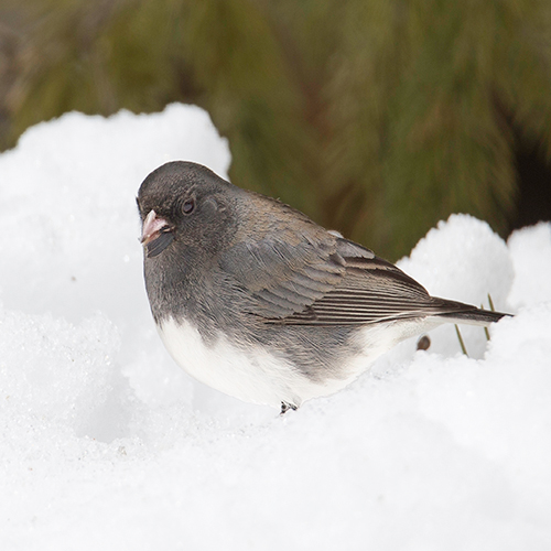 White black and gray bird called a dark eyed junco in the winter snow in Wisconsin