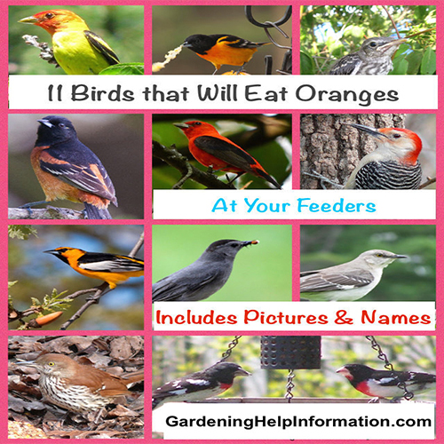 11 Birds That Will Eat Oranges at Your Birdfeeder
