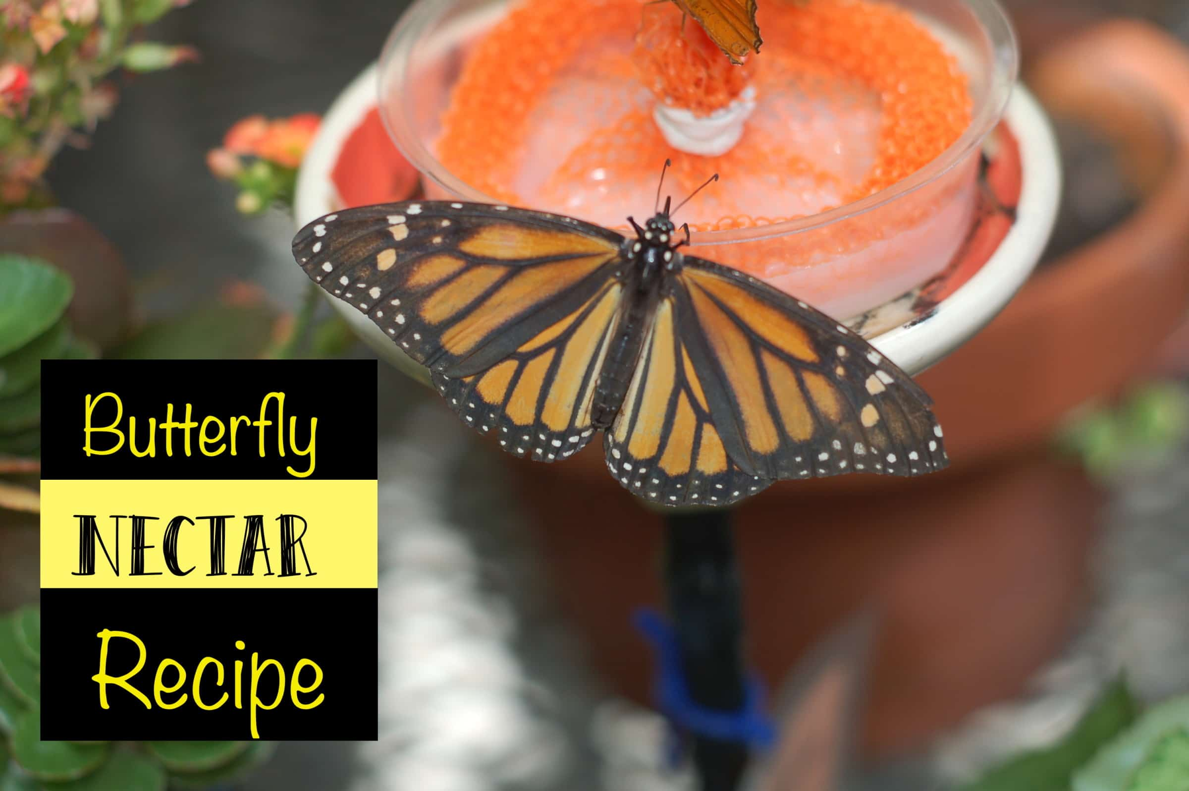 Butterfly Nectar Recipe - If you want to attract butterflies to your yard all you have to do is feed them. Either by plant or providing butterfly nectar for them to feed on.
