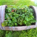 Whisky Barrell Strawberry Planter