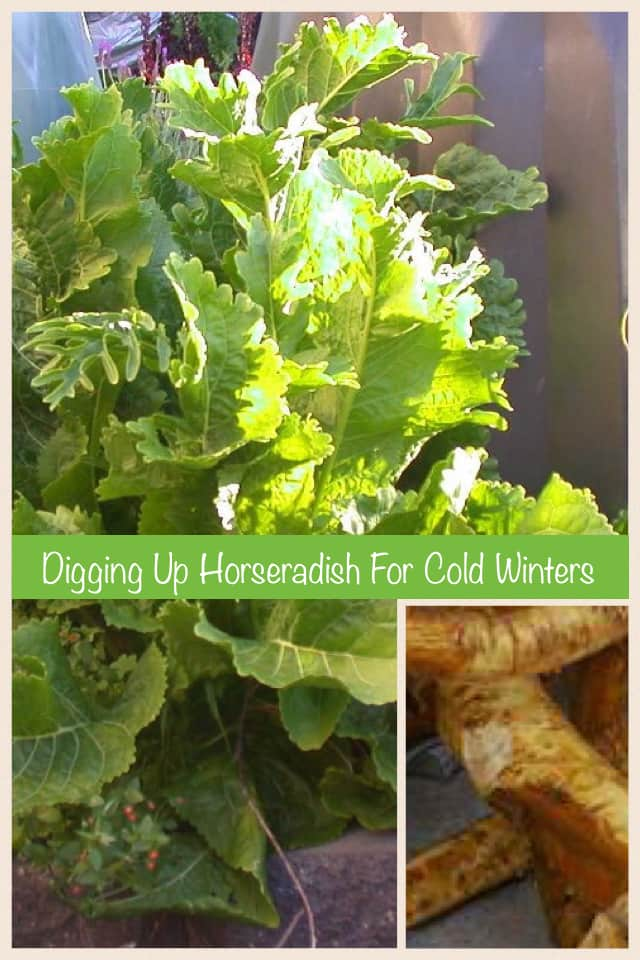 How to Dig up Horseradish Roots for Winter