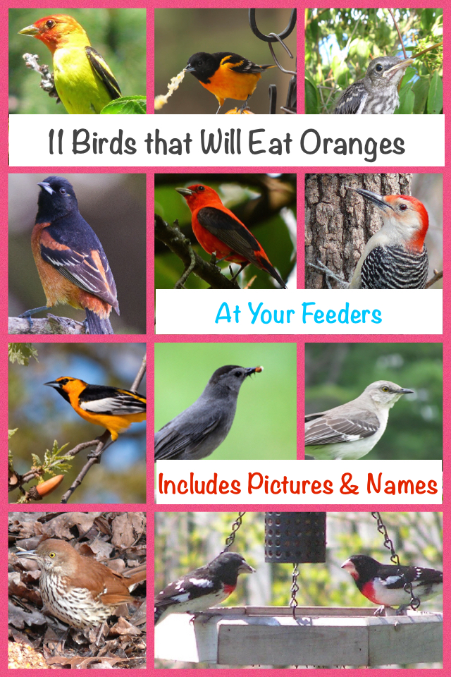 11 Birds That Will Eat Oranges at Your Feeders