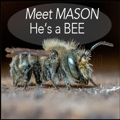What Does A Mason Bee Look Like?