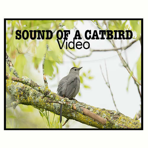 Sound of a Catbird