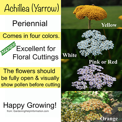 Achillea - excellent for floral cuttings