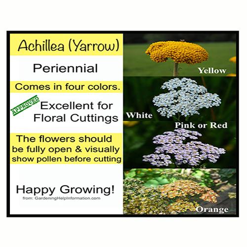 Achillea Yarrow