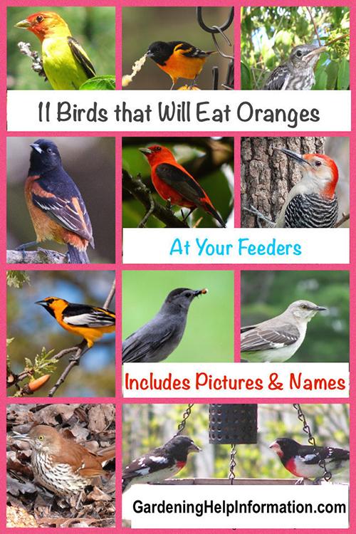 Birds that eat oranges