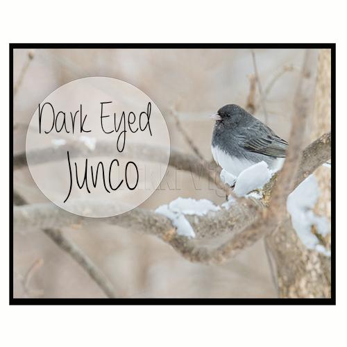 Dark eyed Junco