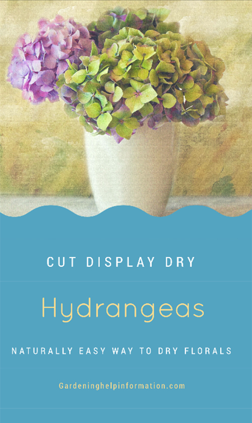 Display and Dry Hydrangeas