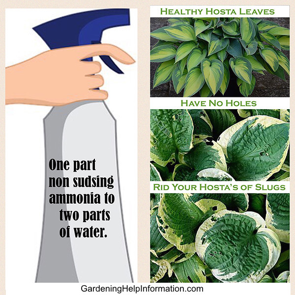 Slug Prevention of Hostas