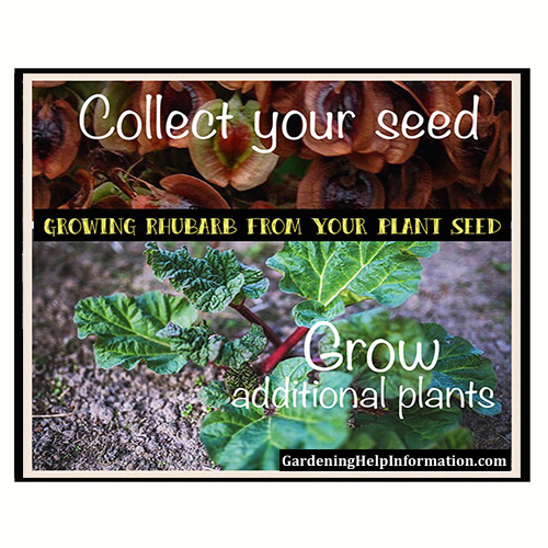 How to Plant Rhubarb Seeds from Your Own Rhubarb Plant