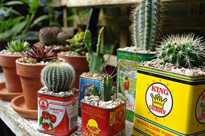 Succulents planted in old kitchen tins