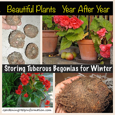 Storing Tuberous Begonia for Winter