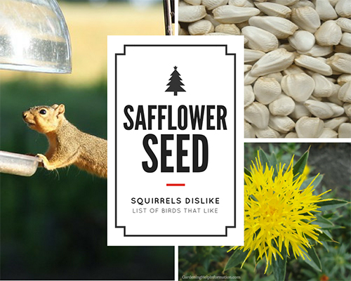 Birds Like Safflower Seed Squirrels Dislike