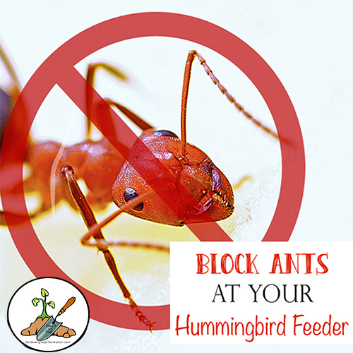 Keep Ants Out of Hummingbird Feeders