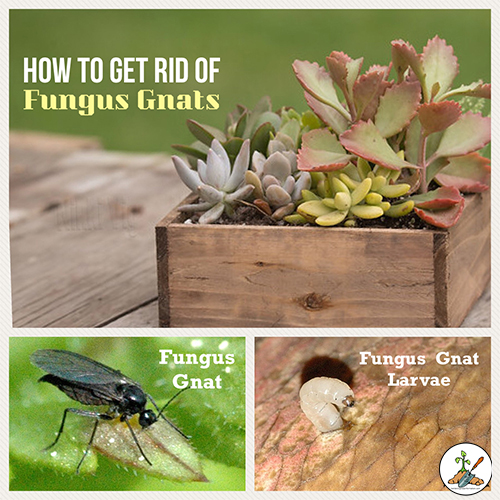 Small flies hanging around your plants. Ugh! Fungus Gnats.  Let me share with you how to get rid of fungus gnats on houseplants. For indoor & outdoor use.