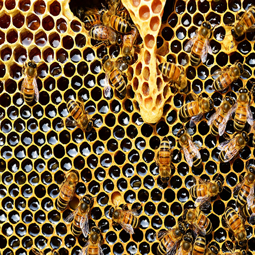 Help Declining Honey Bee Population