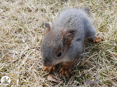 The Eastern gray squirrel has a gestation period of about 45 days, give or take and will produce a litter of 2-5 kits or kittens.