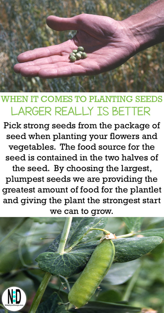 Pick large seeds to grow strong and healthy vegetables and flowers