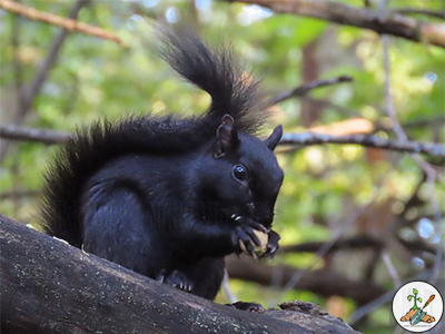 The gray squirrels carry the genes producing the black & white squirrels you often see.