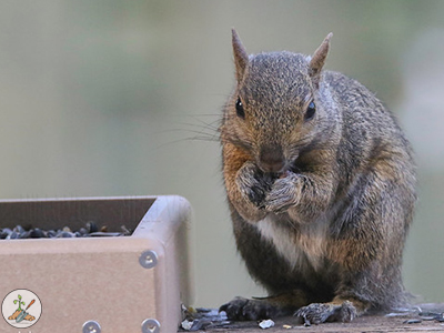 Eastern Gray Squirrel - Bushy banded brown and black haired tail with a white tip at bird feeder.