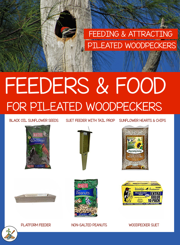 What Feeders and Food Pileated Woodpeckers Eat