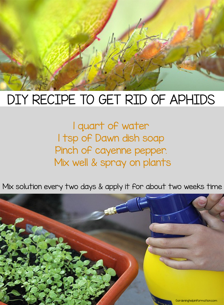DIY recipe to get rid of aphids on garden plants and flowers