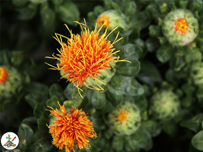 Growing Conditions for Safflower Seeds
