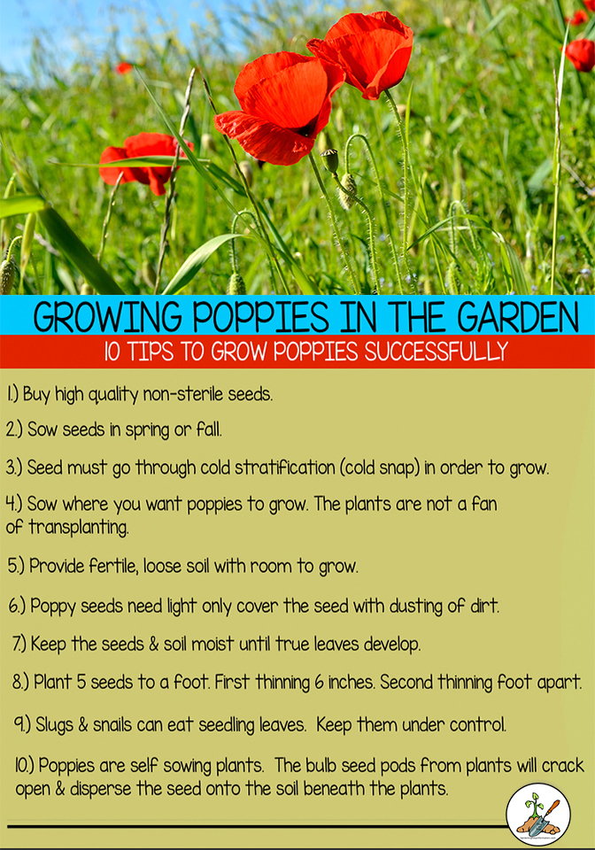 Growing poppies in the garden 10 tips to grow poppy flowers successfully