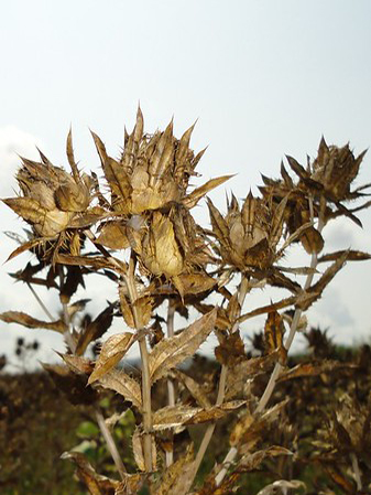 Harvesting Safflower Seeds